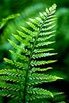 Hen and Chickens Fern frond tips