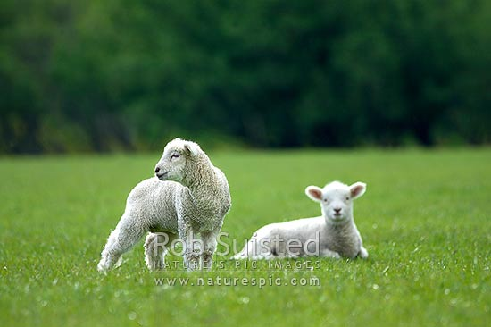 Two young spring lambs in lush grass pasture farmland (Sheep - Ovis aries), New Zealand (NZ) stock photo.