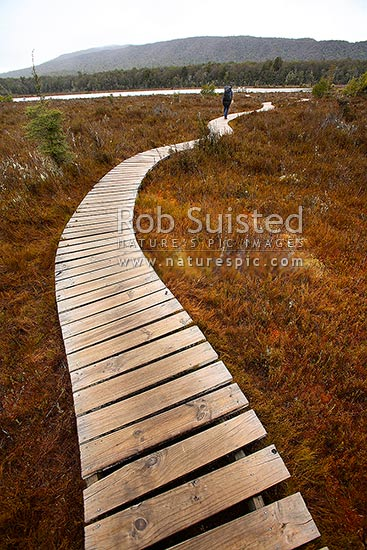 Tramper / hiker walking on a curved boardwalk out to a swamp lake lookout on the Kepler Track Great Walk, Fiordland National Park, Southland District, Southland Region, New Zealand (NZ) stock photo.