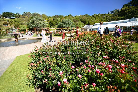 Wedding photos amongst flowers in the Lady Norwood Rose Garden, Wellington Botanical Gardens. Begonia House behind, Wellington, Wellington City District, Wellington Region, New Zealand (NZ) stock photo.