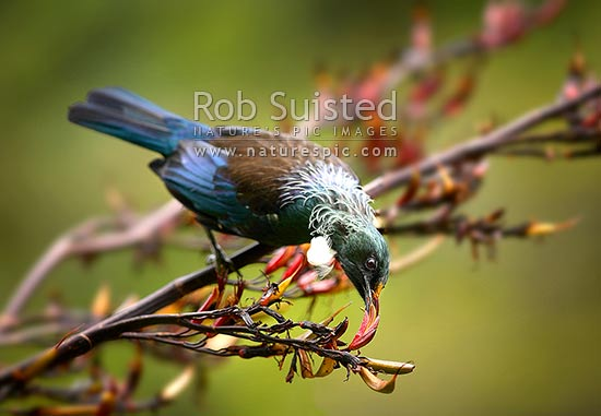 Tui Bird (Prosthemadera novaeseelandiae) feeding on Flax flowers (Phormium sp.). Note pollen on beak and head, New Zealand (NZ) stock photo.