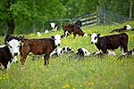 Calves grazing on farmland