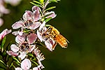 Honey bee on manuka