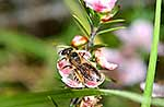 NZ native bee on manuka flower