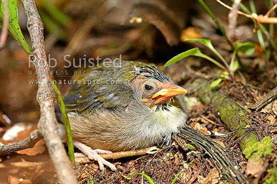 Silver eye / wax eye / White eye bird (Zosterops lateralis) chick fledging outside of nest, New Zealand (NZ) stock photo.