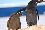 Adelie penguin touching chick