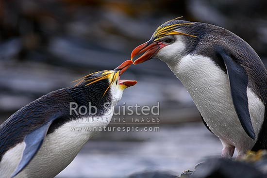 Royal Penguins fighting (Eudyptes chrysolophus (formerly E. schlegeli) white faced Macaroni penguin), Macquarie Island, NZ Sub Antarctic District, NZ Sub Antarctic Region, Australia stock photo.