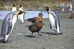King Penguins with skua bird