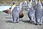 King Penguins heckle a skua bird