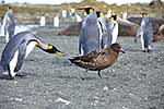 King Penguin threatens Brown Skua