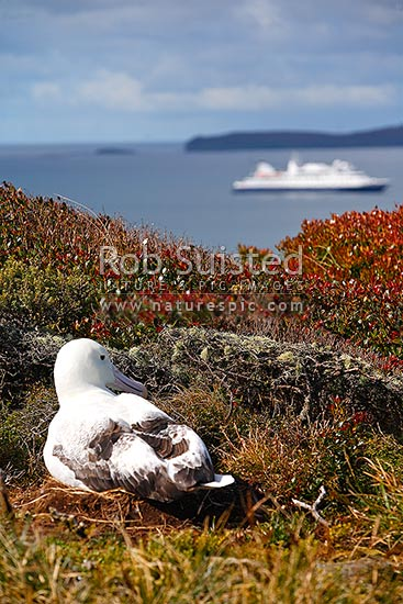 Southern Royal Albatross (Diomedea epomophora) above Port Ross and tourist ship MV Orion. World Heritage Site, Enderby Island, Auckland Islands, NZ Sub Antarctic District, NZ Sub Antarctic Region, New Zealand (NZ) stock photo.