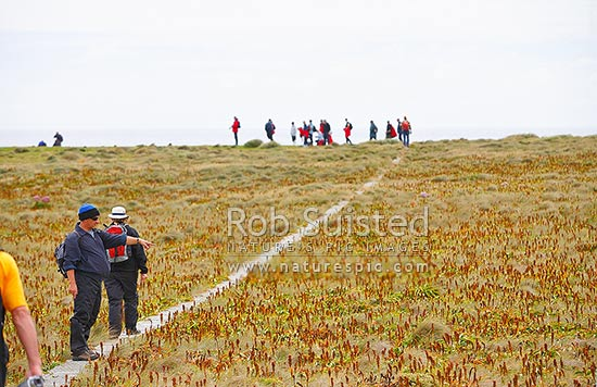 Tourists walking across boardwalk on Endery Island, through bulbinella herb field. World Heritage Site, Enderby Island, Auckland Islands, NZ Sub Antarctic District, NZ Sub Antarctic Region, New Zealand (NZ) stock photo.