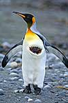 Wounded King Penguin