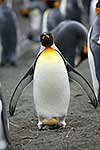 King penguin with egg