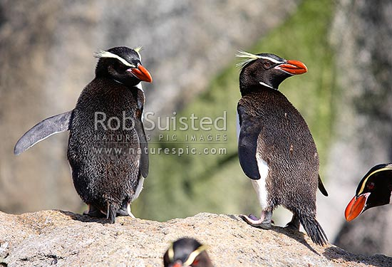Snares Crested Penguins on rock(Eudyptes robustus), The Snares Islands, NZ Sub Antarctic District, NZ Sub Antarctic Region, New Zealand (NZ) stock photo.