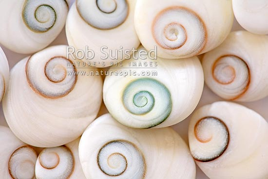Spiral patterned 'catseye shells' - mollusc operculum, or foot-closure of a sea-snail, New Zealand (NZ) stock photo.