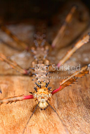 Native Prickly Stick-insect (Acanthoxyla geisovii, order Phasmatodea). No males in species, reproduces via asexual reproduction or parthenogenesis, New Zealand (NZ) stock photo.