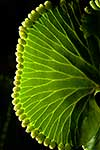 Endemic kidney fern