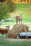 Deer farming, feeding out