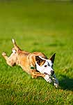 Dog running at full stride
