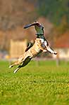 Dog jumping for frisbee