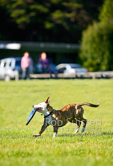 Dog owners exercising their pet dog with a flying disc or frisbee on a grassy field. People looking on, New Zealand (NZ) stock photo.