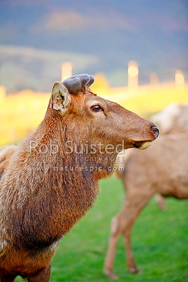 Farmed Wapiti (Elk) bull sire with early growth of new antlers (velvet) on pedicles. Ear tags for identification (Cervus elaphus nelsoni), New Zealand (NZ) stock photo.