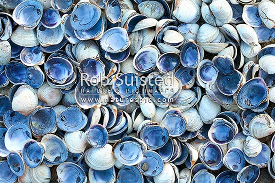 Cockle shell pile (Austrovenus stutchburyi) - texture and pattern. Cockle shellfish, New Zealand (NZ) stock photo.