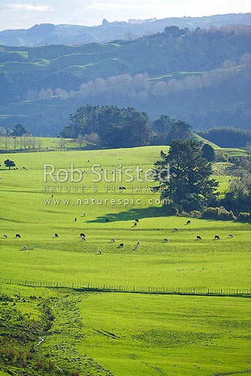 Lush spring farmland hillcountry with livestock grazing. Foothills of the Rauhine Range, Apiti, Manawatu District, Manawatu-Wanganui Region, New Zealand (NZ) stock photo.