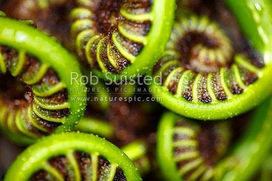 Fern koru - the growing unfurling green frond tip of the Black tree fern (Cyathea medullaris), or Mamaku, New Zealand (NZ) stock photo.