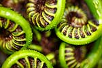 NZ native fern koru