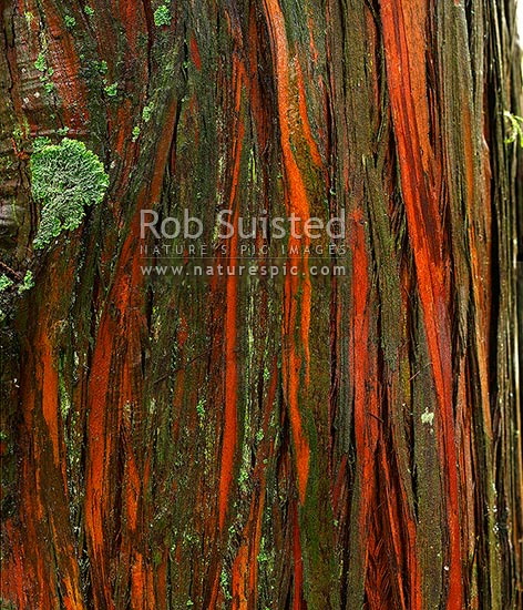 Old Totara tree bark texture wet with rain (Podocarpus totara). Green lichen, New Zealand (NZ) stock photo.