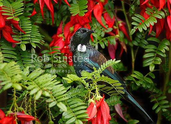 Tui bird (Prosthemadera novaeseelandiae) feeding on nector of native Kakabeak flowers (Clianthus puniceus), New Zealand (NZ) stock photo.