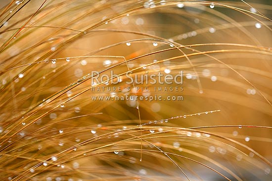 Rain water droplets hanging on native red tussock grass leaves (Chionochloa rubra), New Zealand (NZ) stock photo.