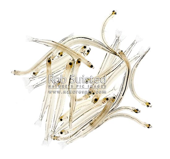 Freshly caught Whitebait, juvenile or larval form of the inanga or adult whitebait fish returning from the sea to rivers. NZ delicacy (native galaxid Inanga species Galaxis maculatus etc), New Zealand (NZ) stock photo.