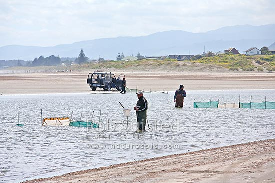 Whitebait fishing at Waikanae River mouth (native juvenile larval galaxid Inanga species Galaxis maculatus etc). Whitebaiting fisherman waiting by nets. NZ delicacy, Waikanae, Kapiti Coast District, Wellington Region, New Zealand (NZ) stock photo.