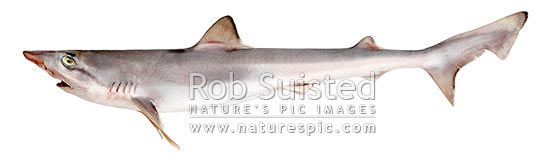 Tope Shark lateral view (Galeorhinus galeus: Triakidae) Synonyms: School, Kapeta, grey shark, sand shark. Approx 1.2m. Native to NZ, New Zealand (NZ) stock photo.
