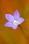 Closeup of native bluebell