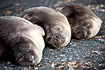 elephant seal weaners