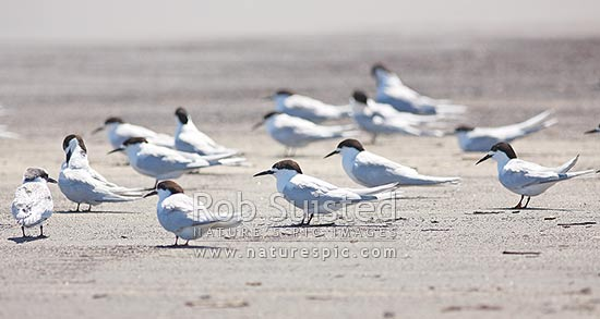Flock of white-fronted terns or tara (Sterna striata) on beach, Waikanae, New Zealand (NZ) stock photo.