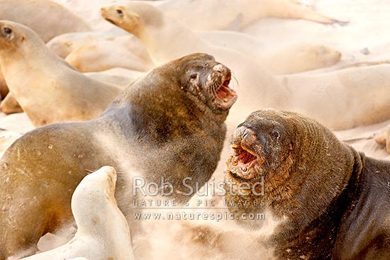 New Zealand (Hooker's) Sea lion (Phocartos hookeri) colony at Sandy Bay. Bull adult males fighting to hold territory on breeding beach during breeding season, Enderby Island, Auckland Islands, NZ Sub Antarctic District, NZ Sub Antarctic Region, New Zealand (NZ) stock photo.
