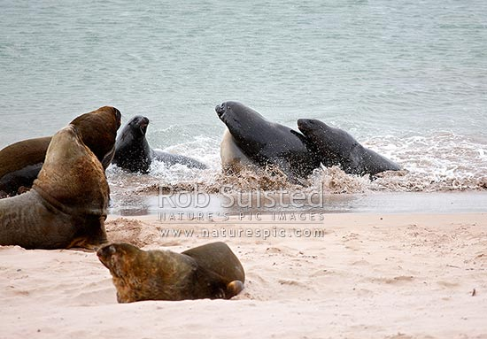 Adult male New Zealand (Hooker's) Sea lions (Phocartos hookeri) ambushing a female returning from feeding, in attempt to breed by non-beachmaster bulls, Enderby Island, Auckland Islands, NZ Sub Antarctic District, NZ Sub Antarctic Region, New Zealand (NZ) stock photo.