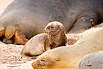 Cute little Sea Lion Pup