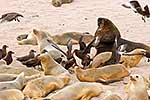 NZ  Sea lion birth in colony