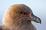 Head shot of South Polar Skua