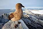 Skua on rock