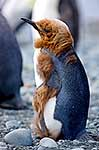 King Penguin chick moulting