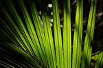 Nikau palm fronds in sun