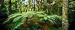 NZ Forest Panorama, dreamy