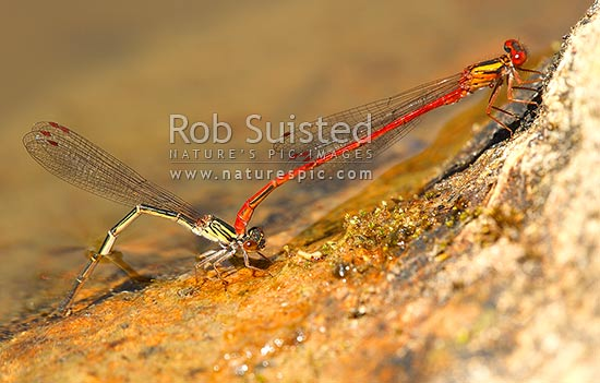 NZ Redcoat Damselfly (Xanthocnemis zealandica) in tandem hold with female (left) ovipositing eggs into freshwater after mating. Note parasitic mite under male thorax, New Zealand (NZ) stock photo.